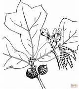 Oak Tree Coloring Drawing Pages Blackjack Printable Branchlet Getdrawings Paper sketch template