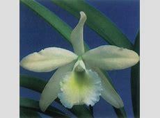 cattleya orchids %BLOG_TITLE%