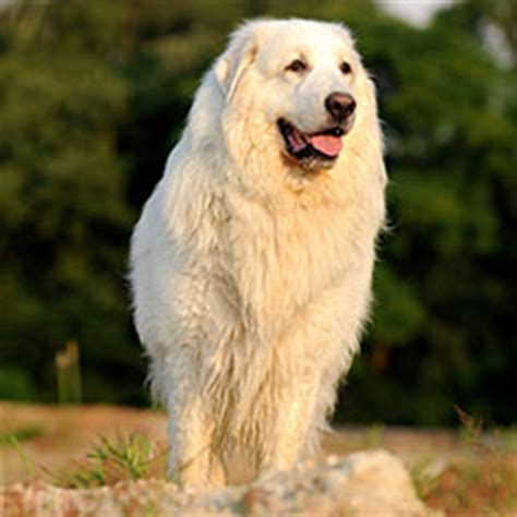great pyrenees shedding season great pyrenees breed information