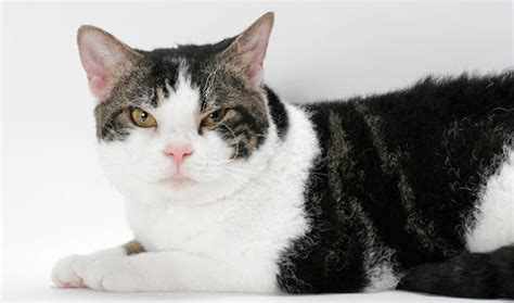 cat expectancy life expectancy in american wirehair cats annie many