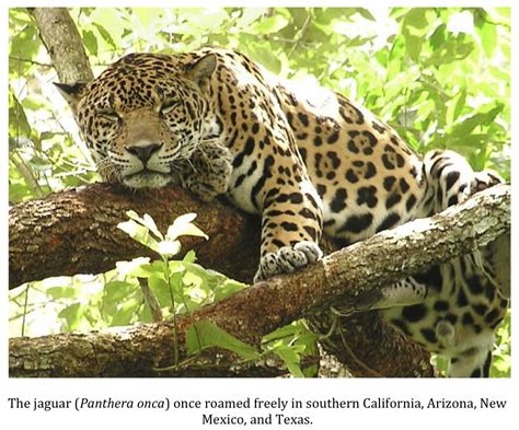 How Are Jaguars Endangered by Cryptid Endangered Jaguars Granted Critical