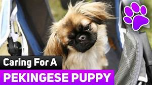 how to care for newborn puppies caring for a pekingese With caring for your dog