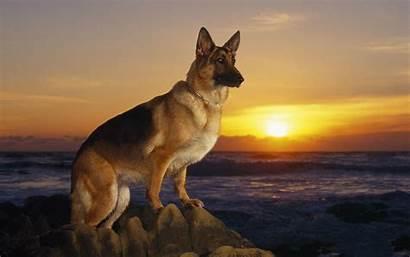 Shepherd German Wallpapers Dog