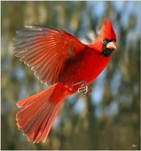 Red Birds Flying | www.pixshark.com - Images Galleries ...