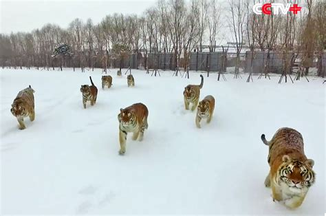 Video Siberian Tigers Taking Down Low Flying Drone