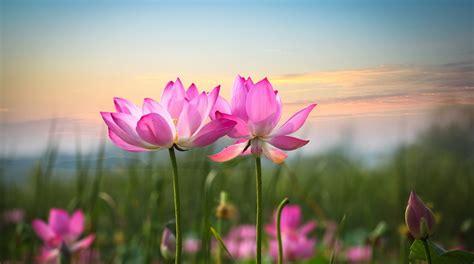 pink lotus magic lotuswei