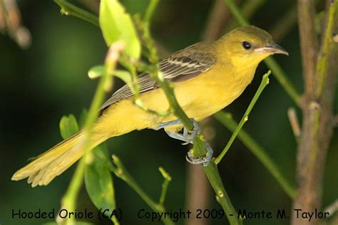 yellow hooded oriole