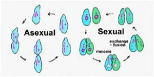 Asexual vs Sexual Reproduction - Difference and Comparison ...