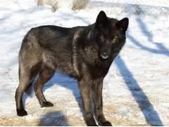 Wolf mix  Animals ...
