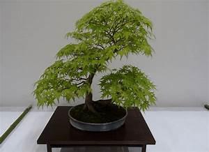 Erable Du Japon Entretien : bonsai erable du japon fiche d 39 entretien de l 39 acer ~ Nature-et-papiers.com Idées de Décoration