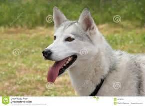 white husky dog stock image image  mammal animal eyes