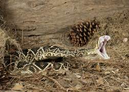 Western Diamondback Rattlesnake Striking Rattler striking  Western Diamondback Rattlesnake Striking