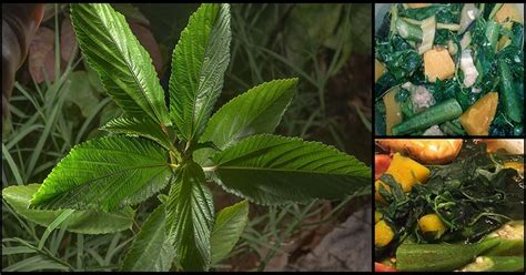 Health Benefits Of Eating Saluyot Leaves - Dr. Farrah MD
