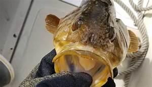 Kelp Bass Fishing Tips  How To Catch Calico Bass