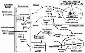 Schematic Representation Of Vitamin A  Va  Digestion
