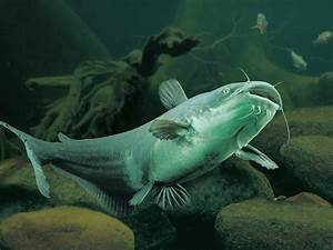 Channel catfish Wallpaper | High Quality Wallpapers ...