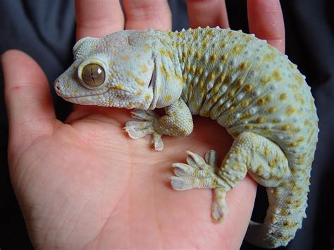 geckos as pets tokay gecko grey matters pinterest geckos reptiles and vivarium