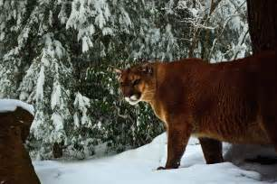 Mountain Lion Forest Virginia