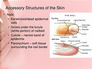 Ppt - Integumentary System Powerpoint Presentation