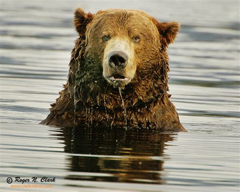 clarkvision photograph brown bear  confused