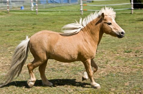horse miniature horses pony mini file tiny breeds reducing drastically number amazing breed cheval