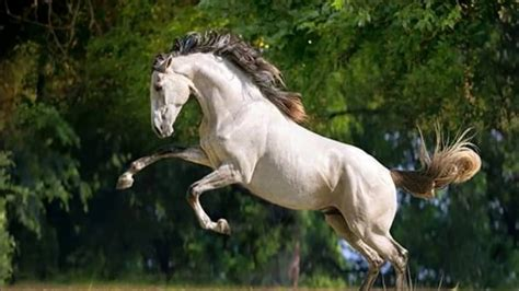 andalusian stallion pre saddle under