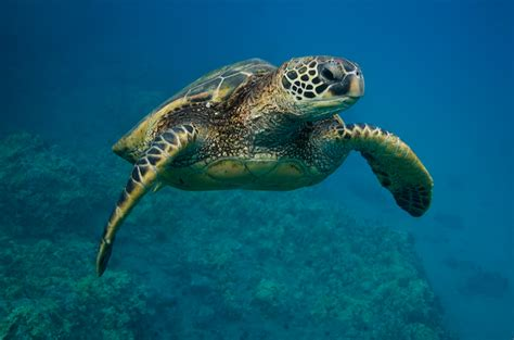 Images Of Turtles Sea Turtle Facts See Turtles