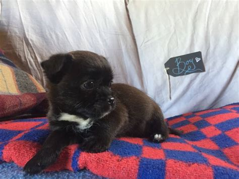 Chihuahua X Shih Tzu Puppy For Sale Oct Th  Paradise Puppies
