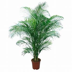 Palmen Kaufen Baumarkt : areca palme topf ca 24 cm areca kaufen bei obi ~ Orissabook.com Haus und Dekorationen
