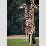 Conjoined Twins Animals | 444 x 650 jpeg 50kB
