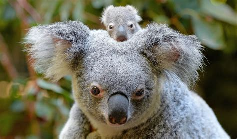 Australia Zoo Introduces Its First Baby Koala For The