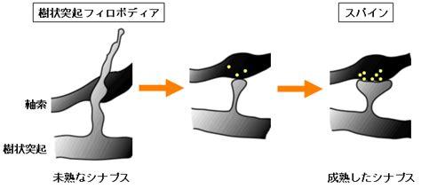 図1 シナプス成熟に伴う樹状突起フィロポディアからスパインへの形態変化