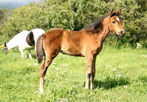horse canada andalusian filly thoroughbred ad horses alberta tofield