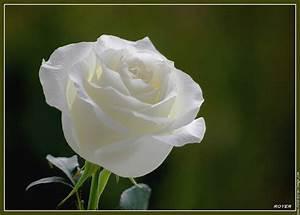 Fleur Rose Et Blanche : fleur 0230 fleur rose blanche nature fond d 39 cran fond ecran image ~ Dallasstarsshop.com Idées de Décoration