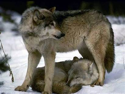 Wolves Wolf Animals Mate Mark Protecting Lobo