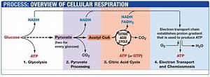 87 Respiration  Glycolysis