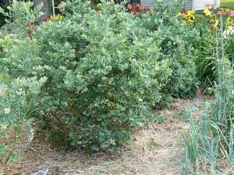 berry shrubs berry shrubs 28 images blog backyard bird lover berry plants for the landscape timber