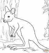Coloring Wallaby Printable Drawing Animals Dot Categories sketch template