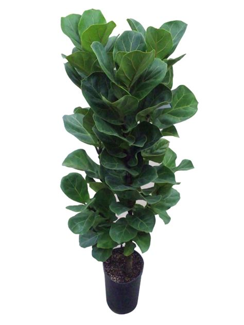 ficus lyrata flor de lisboa the hit plant ficus lyrata