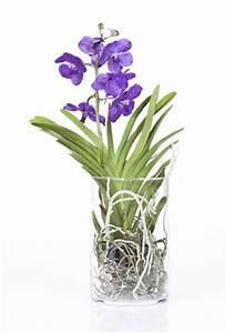 Orchideen Ohne Topf : vanda orchidee ascocentrum pflege und vermehren ~ Eleganceandgraceweddings.com Haus und Dekorationen