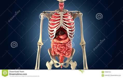 Corpo Umano Con Organi Interni Scheletro Con Gli Organi Interni Fotografia Stock