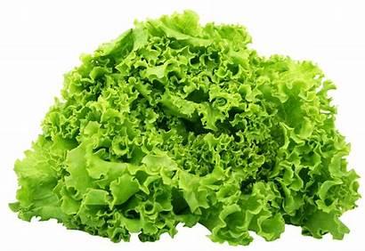 Lettuce Spinach Clipart Transparent Leaves Salad Vegetables