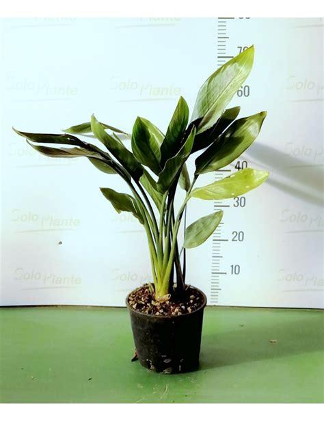 fiore sterlizia sterlizia uccello paradiso vaso 18 cm vendita