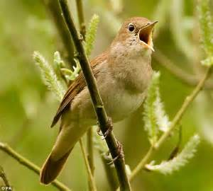 different types of birds that sing nightingales more musical songs as they are better at learning daily mail