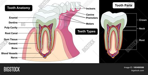 Tooth Bone Diagram by Human Tooth Cross Image Photo Free Trial Bigstock