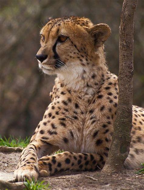 zoo animals cleveland wild ohio cats animal cool spirit zoos things cheetahs leopard snow cheetah metroparks