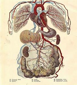 Vintage Human Anatomy Circulatory System 1920s Original