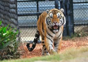 Mike the Tiger LSU Photo Gallery