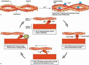 The Role of Actin and Myosin
