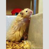 Robo Dwarf Hamster Cages | 736 x 981 jpeg 80kB